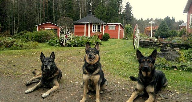 Ongelmakoirakoulutuksen koiria